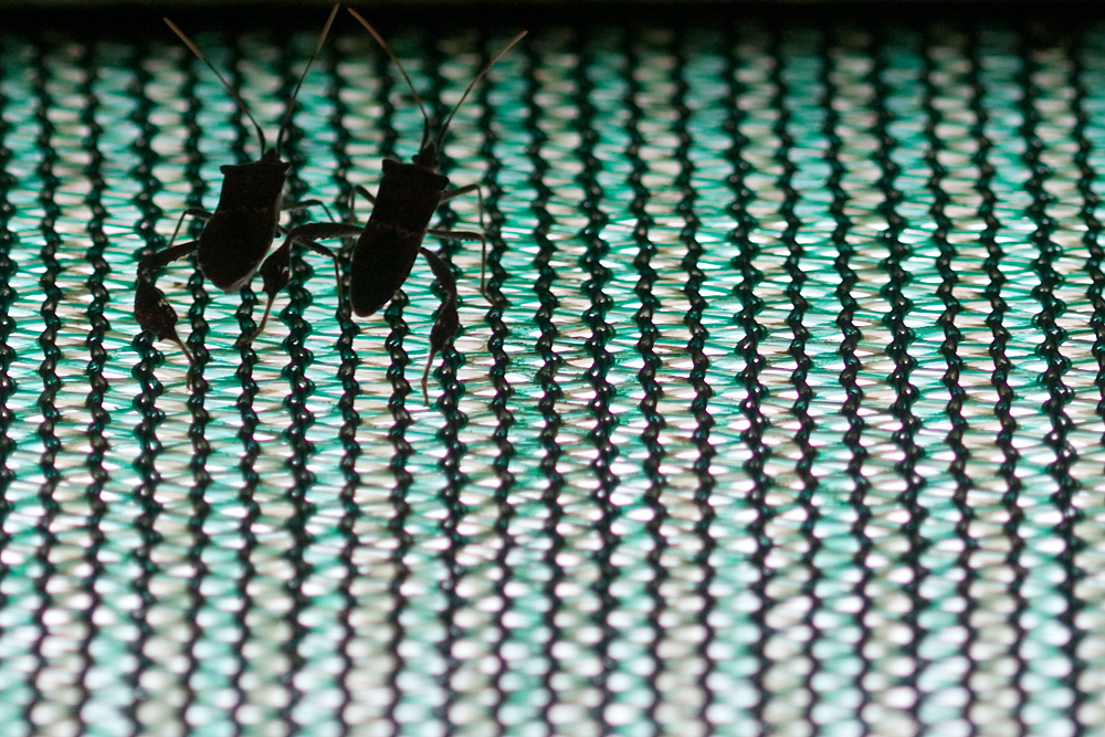 13/365 - Leaf-Footed Bugs