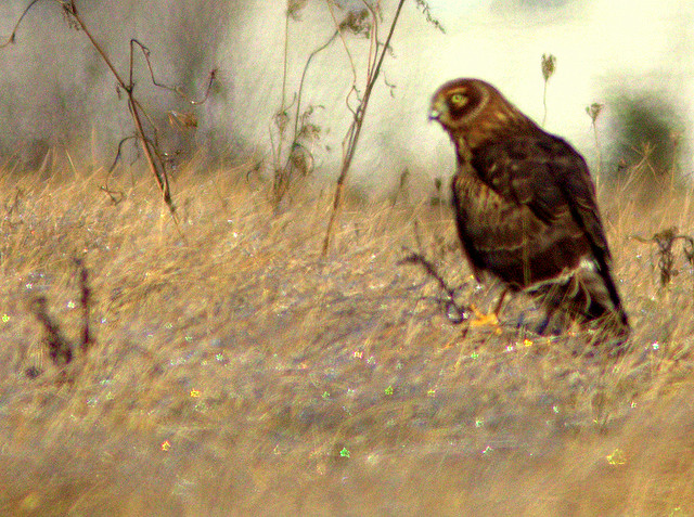 Northern Harrier 2-20130114