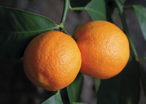 TEM_Otaheite Orange_12_KERS_002