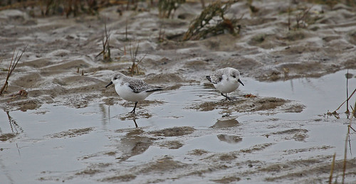 Sanderling Pegwell Bay by Kinzler Pegwell