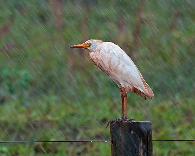 GARCA-VAQUEIRA (Bubulcus ibis)