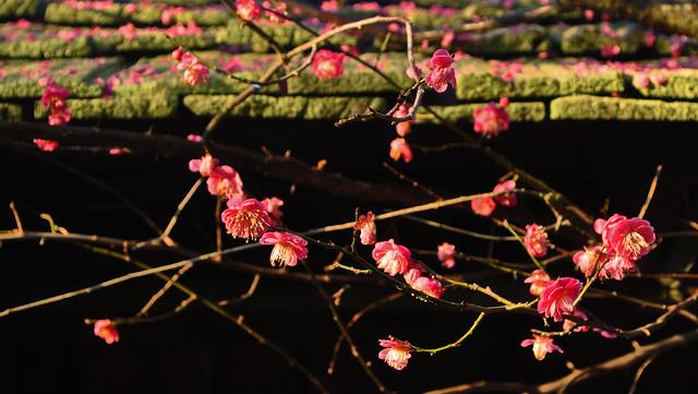 Prunus mume 'Kobai' (2)