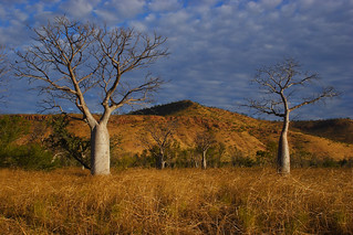 Boab Trees, East Kimberley