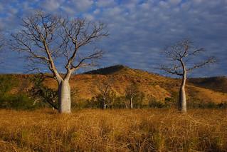 Boab Trees, East Kimberley