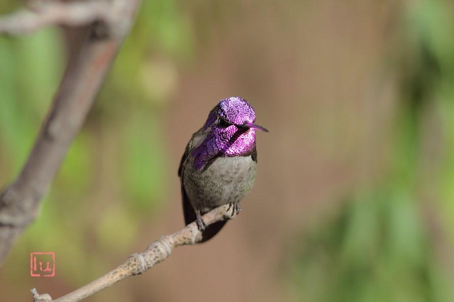 Costa's X Anna's Hummingbird 012613-2