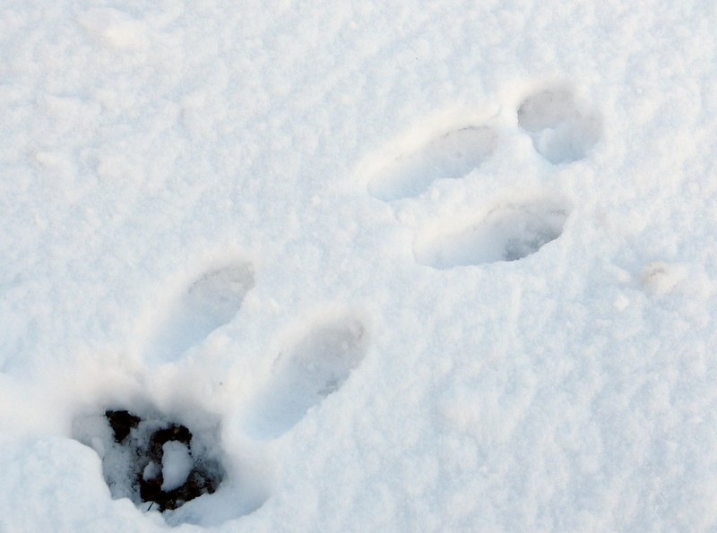 29193 - Snow Tracks, Rabbit