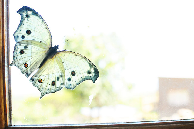 butterfly on my window