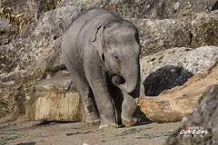 Elefant LUDWIG 2012_01_29