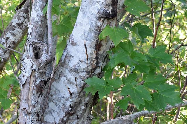 multitrunked red maple