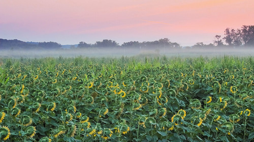 trees sky mist nature field fog sunrise canon landscape outdoors july sunflowers orangesky canont3i pwpartlycloudy