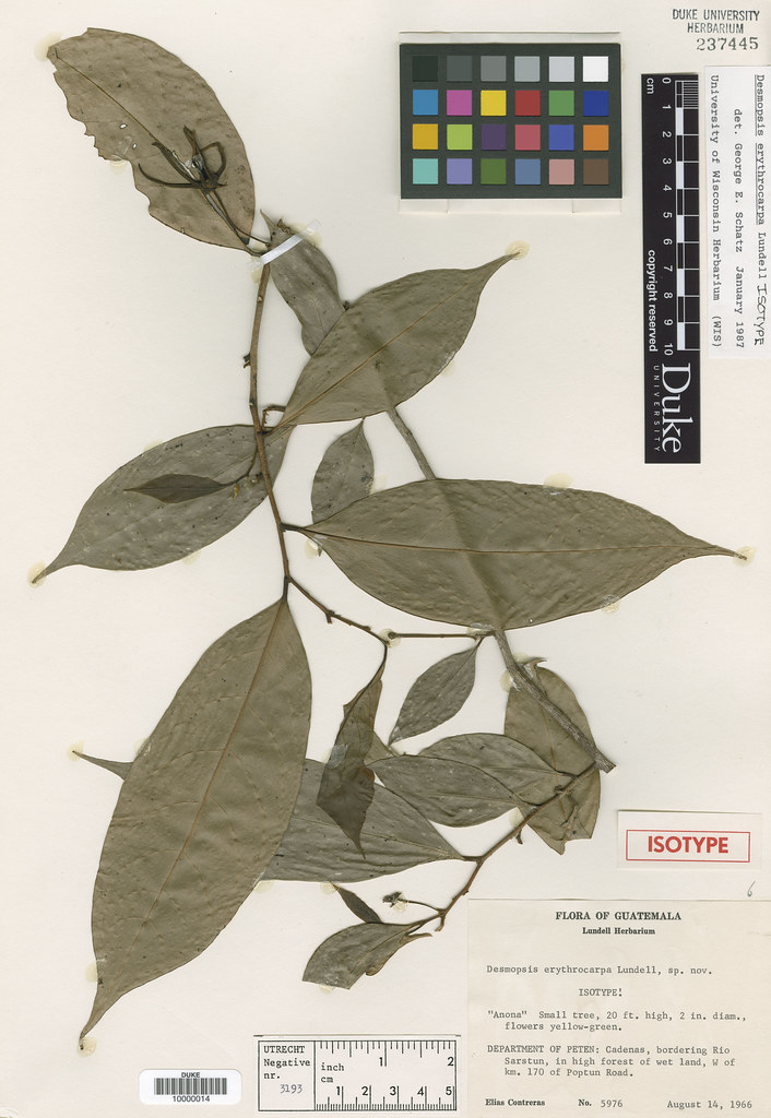 Annonaceae_Desmopsis erythrocarpa