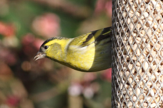 Siskin in our garden