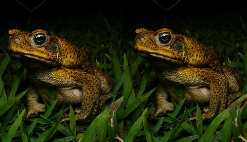 Bufo marinus, stereo parallel view