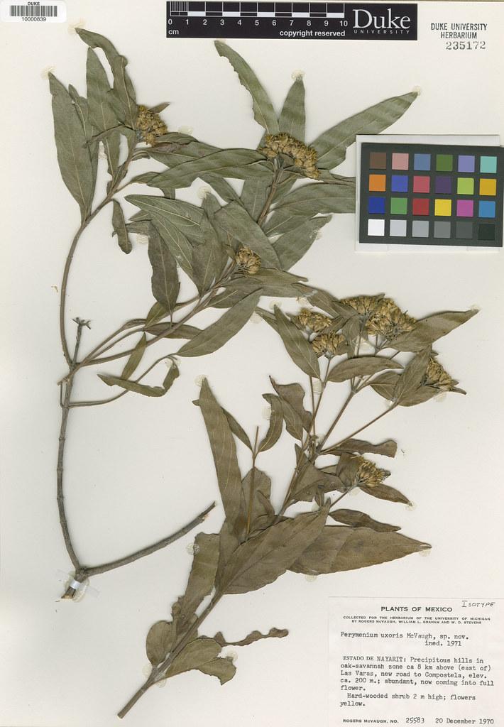 Asteraceae_Parymenium uxoris