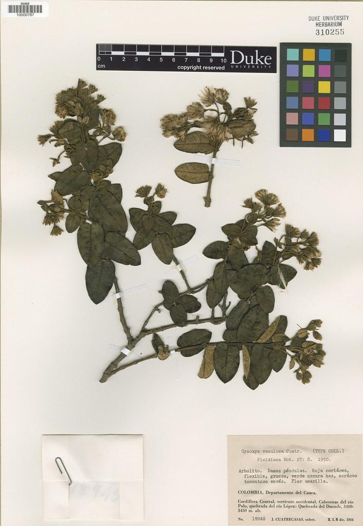 Asteraceae_Gynoxys venulosa