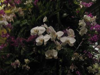 orchid tree closeup