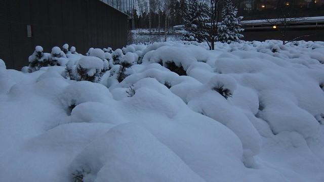 Arbustos bajo la nieve