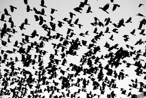 [フリー画像素材] 動物 (その他), 鳥類 (その他), 鳥類 - 飛ぶ, 動物 - 群れ ID:201212250600