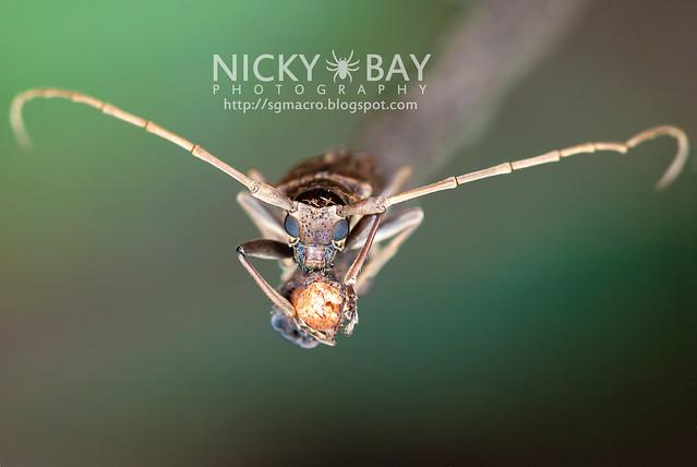 Mangrove Longhorn Beetle (Acalolepta sp.) - DSC_1005