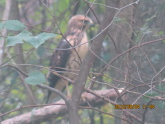 Young hawk ... taken from the kitchen window