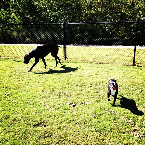 bostonterrier greatdane bugsy uploaded:by=flickstagram instagram:photo=3057168395818171911307117