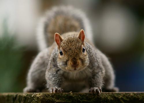 [フリー画像素材] 動物 (哺乳類), 栗鼠・リス ID:201301011000