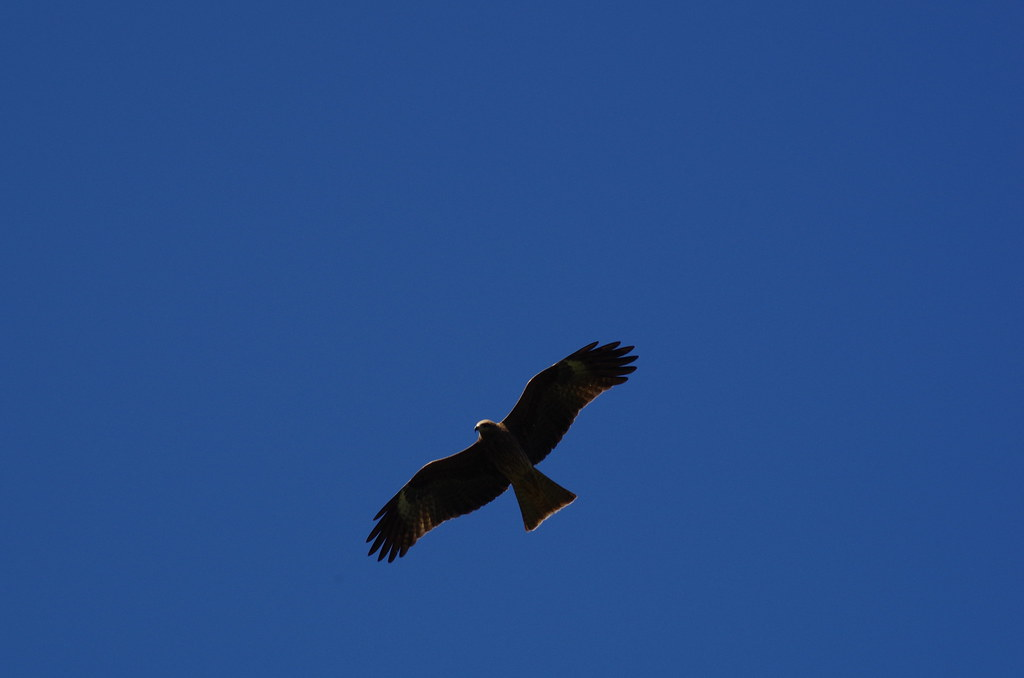 猛禽分享-黑鳶