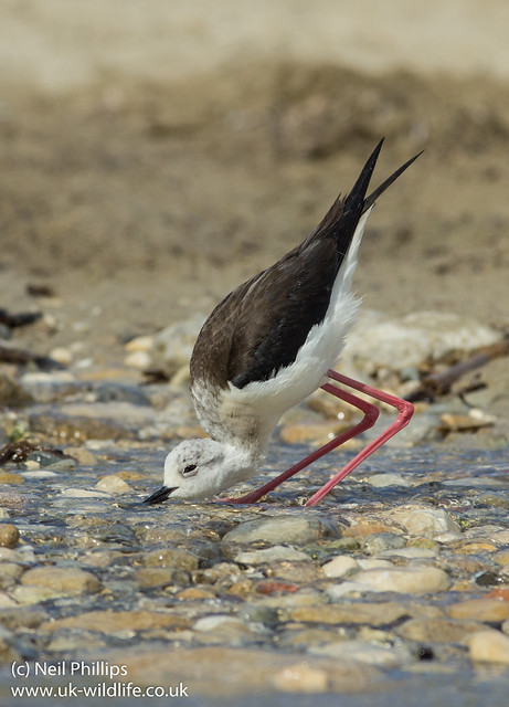black winged stilt drinking portrait
