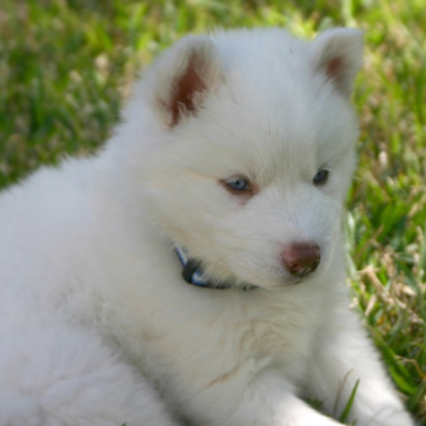 I Am Looking For A Pure White Siberian Husky. Male. Blue