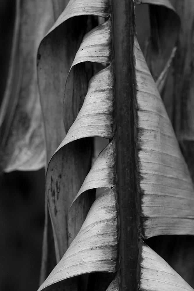 3/365 - Tattered Banana Tree Leaf