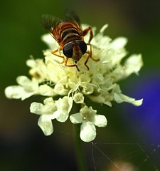 Scabiosa ochroleuca and Syrphid Fly