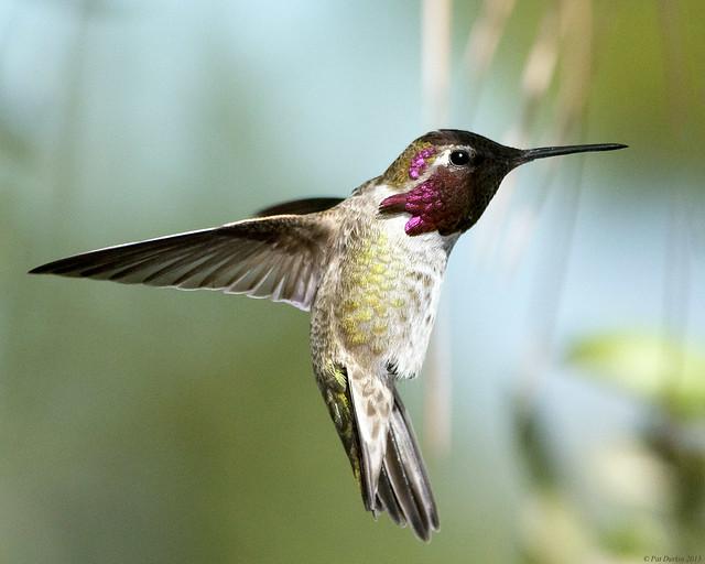 Anna's Hummingbird - male. Backyard shot - Southern ...