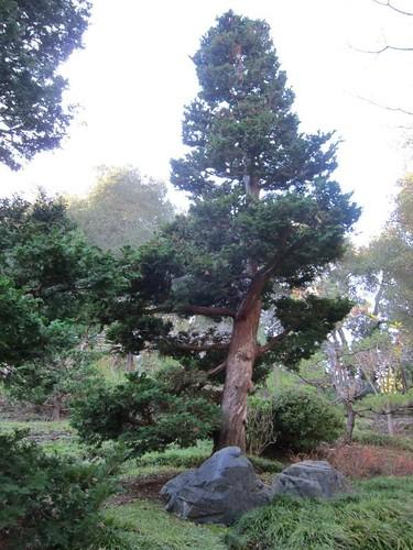 Hakone Japanese Gardens, Saratoga, CA, tree IMG_2359