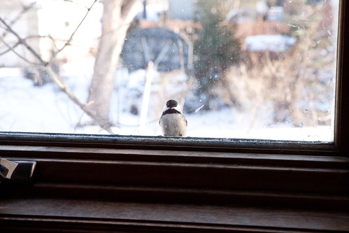 Black-capped Chickadee peeking in my window waiting for mealworms