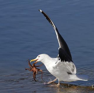 California Gull Catching an Octopus