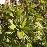 Garden Inventory: Azalea - 3