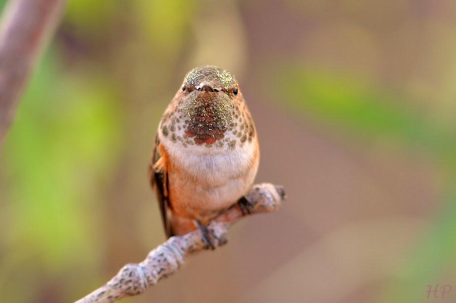 Allen's Hummingbird 011513