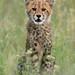 Cheetah Cub by hvhe1