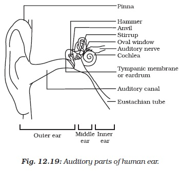 Worksheets Stucture  Of Human Ear structure of the human ear worksheet sharebrowse karibunicollies