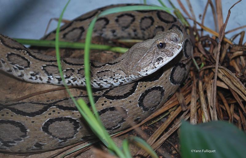 Protobothrops mangshanensis : Vivarium de Lausanne Suisse 8424329407_ae660f2340_c