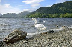 SWAN LAKE (2)