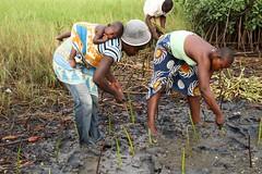 Non so se sia davvero tanto comodo starsene li appeso mentre la mamma pianta le mangrovie