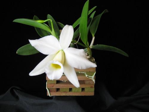Laelia praestans 'Orchid Eros' HCC-AOS 3
