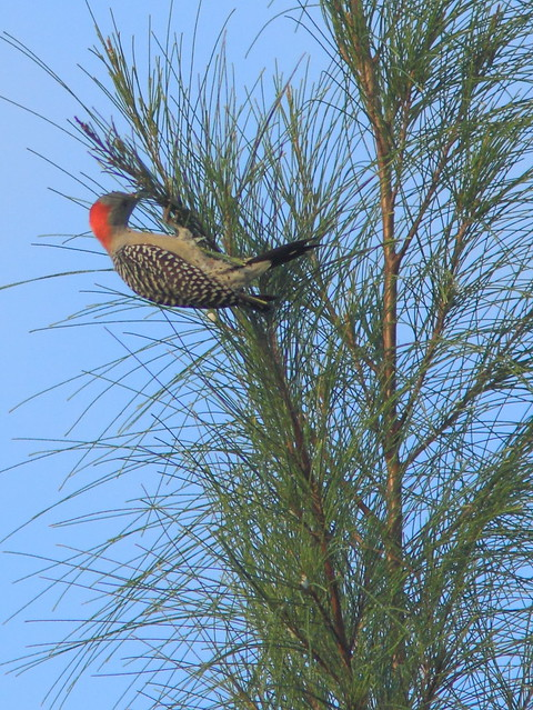 Red-bellied Woodpecker on Australian Pine 20121213