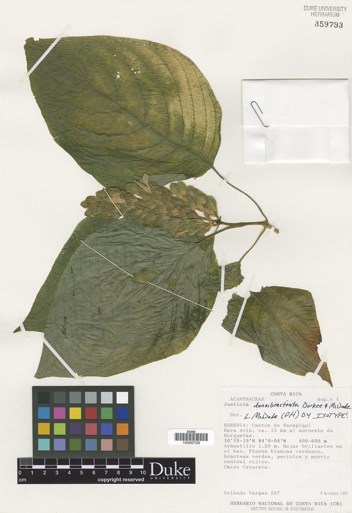 Acanathaceae_Justicia densibracteata