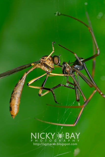 Robberfly (Leptograstinae) capturing a Golden Orb Weaver (Nephilidae) - DSC_1523