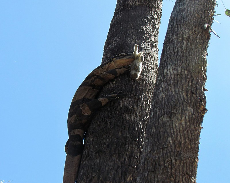 Goanna on tree 2 Walk 18