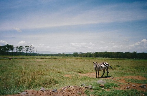africa film animal nationalpark lomo lca lomography kenya scan safari zebra lakenakurunationalpark hpc5380