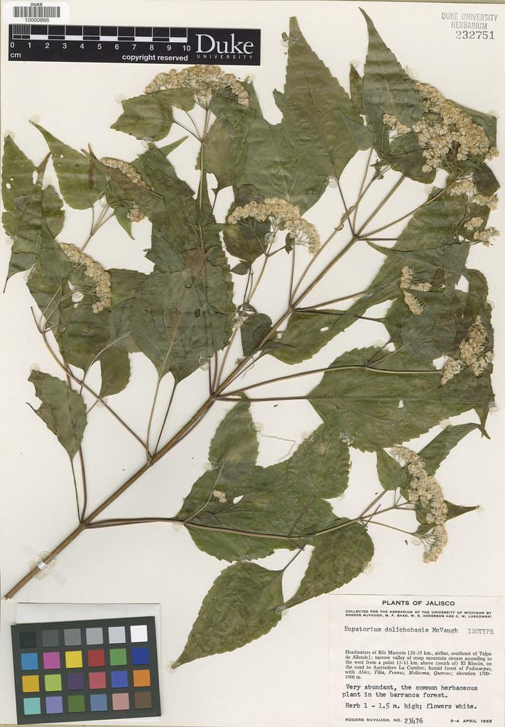 Asteraceae_Eupatorium dolichobasis