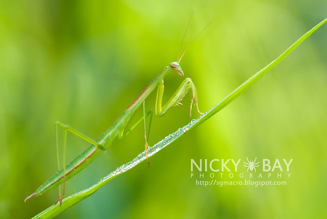 Praying Mantis (Mantodea) - DSC_1508